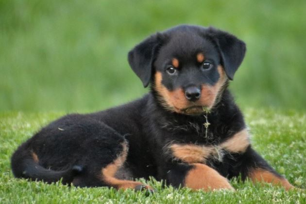 Rottweiler Dog Breed Facts Lifespan And Random Information