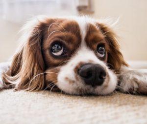 bored puppy