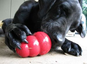 canine playing with toy